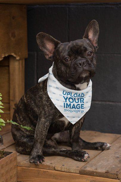 Bandana Mockup of a Sitting French Bulldog 33275